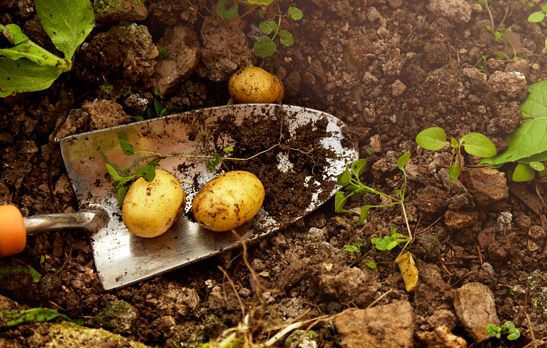 Grow Potatoes at Home